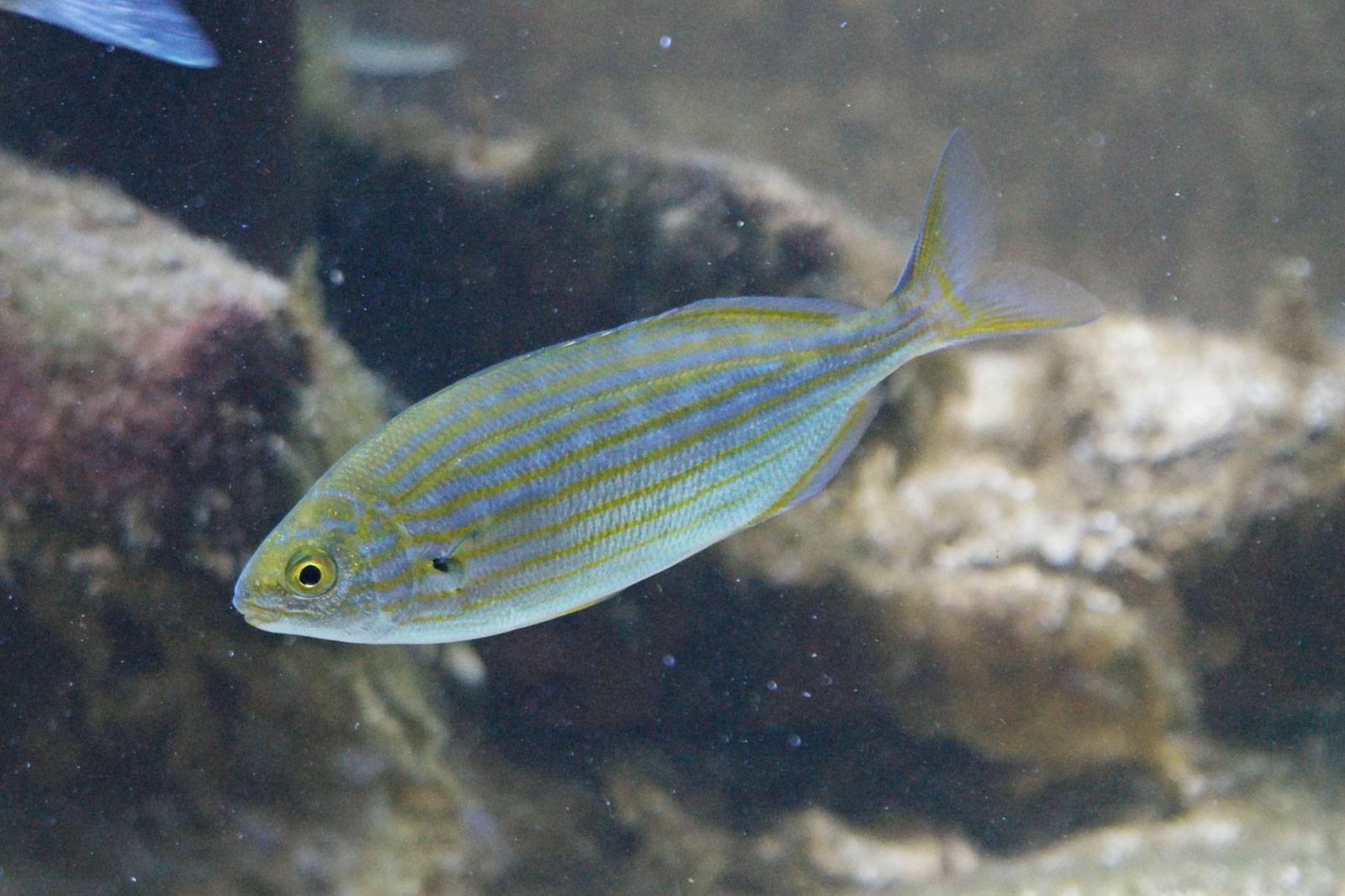 Нечего скрывать: salpa maggiore — полностью прозрачная рыба