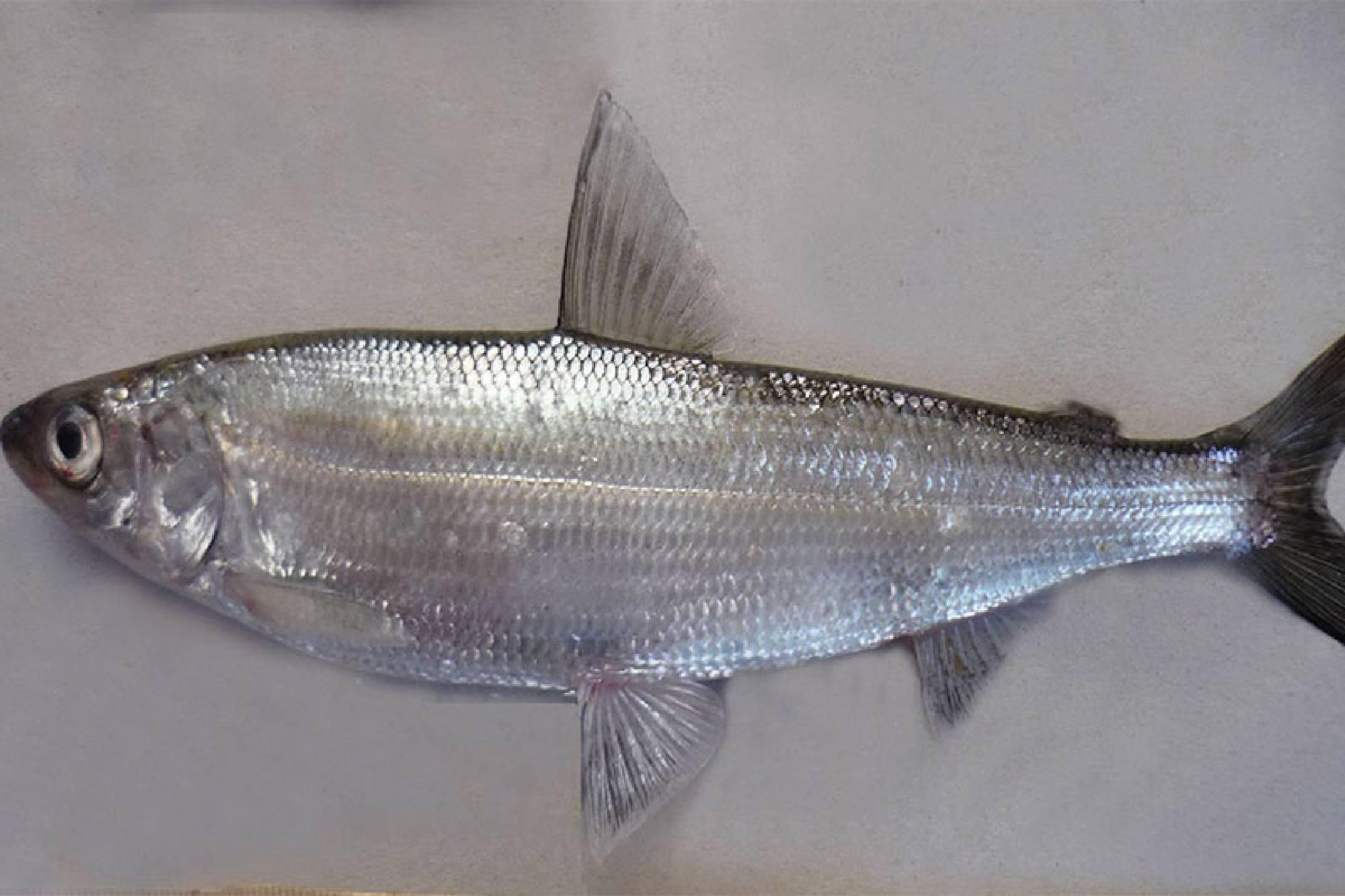 Рипус (рыба): рецепты приготовления с фото