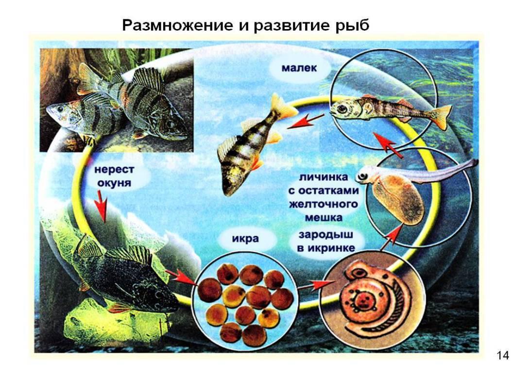 Окунь: характеристики, среда обитания, особенности ловли и приготовления