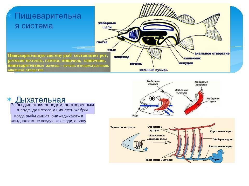 Жабры рыбы - fish gill