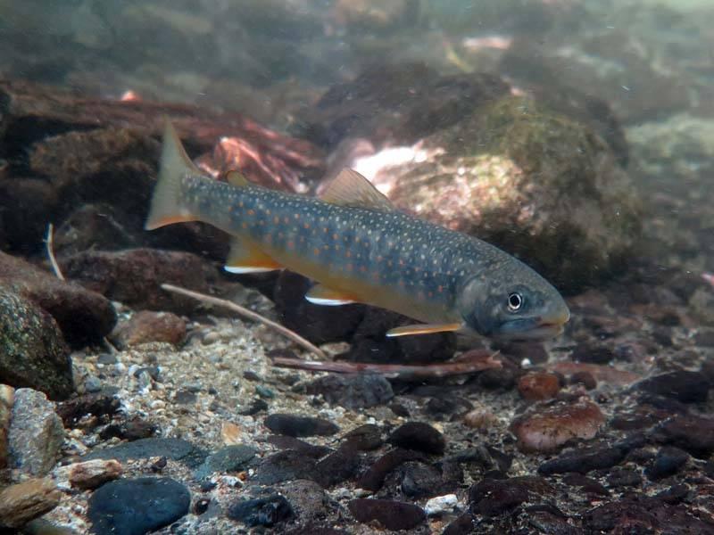 Рыба голец — как лучше её приготовить
