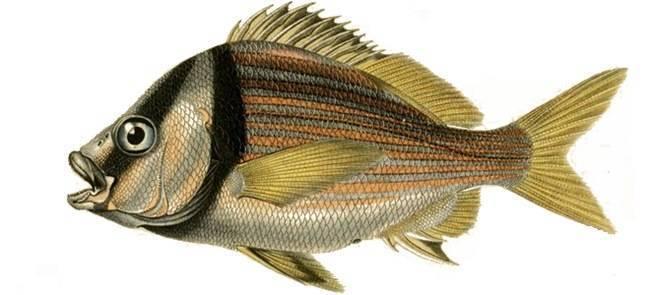 Горбыль (лат. sciaenidae)