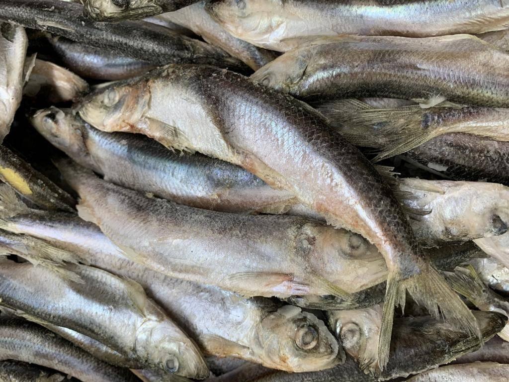 Рыба «Салака» фото и описание