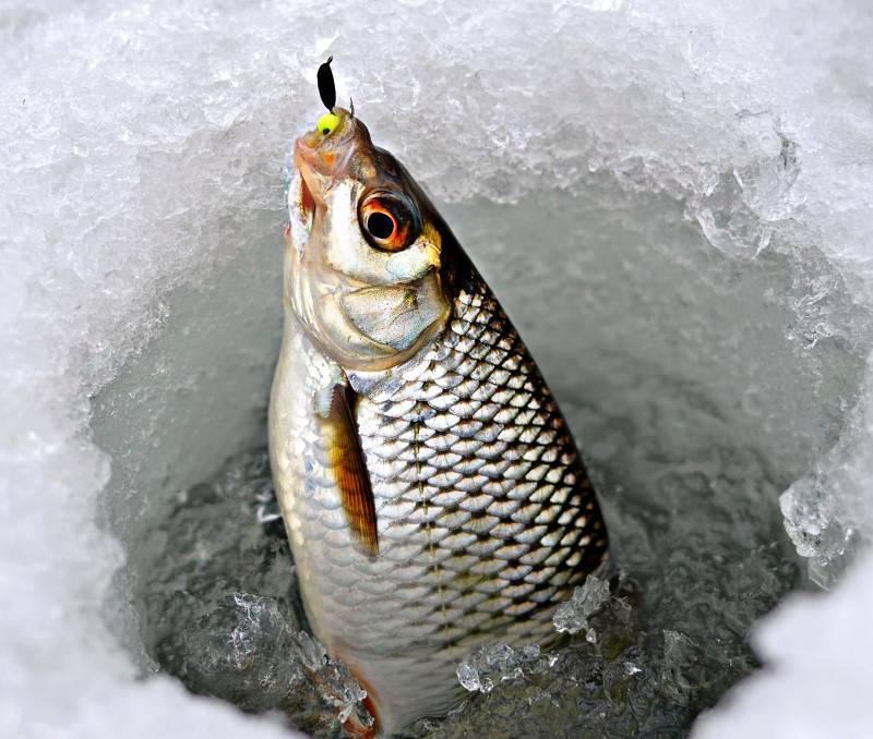 Ловля плотвы зимой. несколько полезных советов.