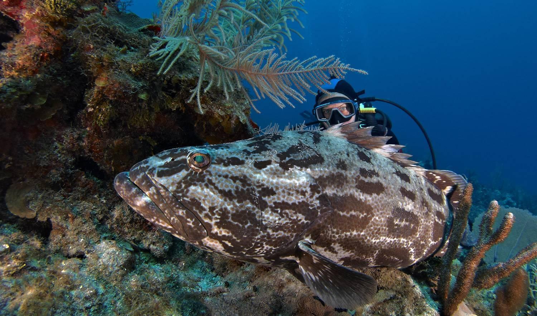 Окунь черный морской свежий - калорийность, полезные свойства, польза и вред, описание - www.calorizator.ru