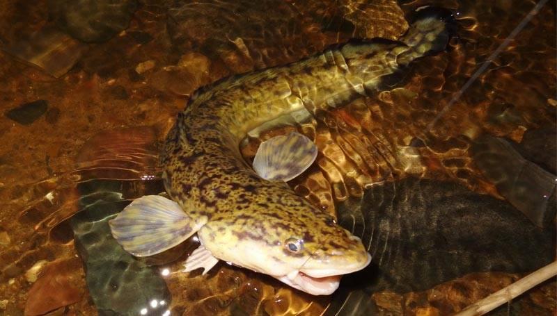Налим: рыба налим фото и описание, нерест, способы ловли, образ жизни, приманки, калорийность, применение налима в медицине