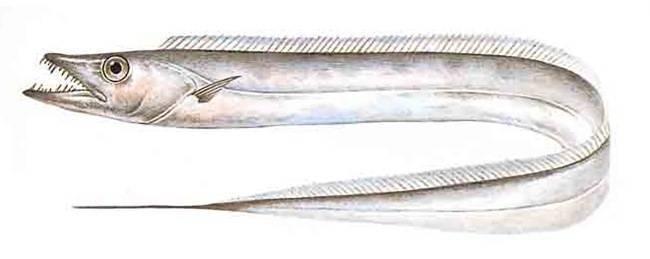 Рыба «Волосохвост» фото и описание