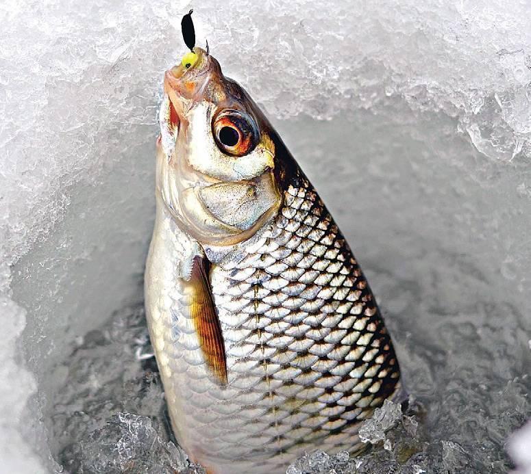 Ловля чебака зимой - все о рыбалке