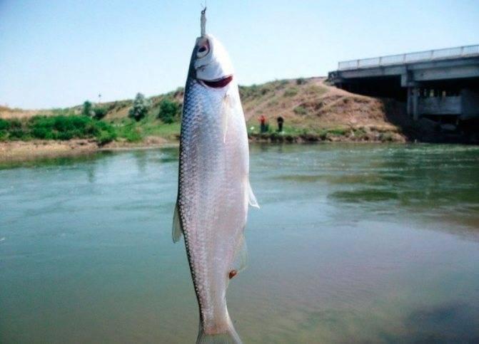 Рыба шамайка — как выглядит и где обитает?