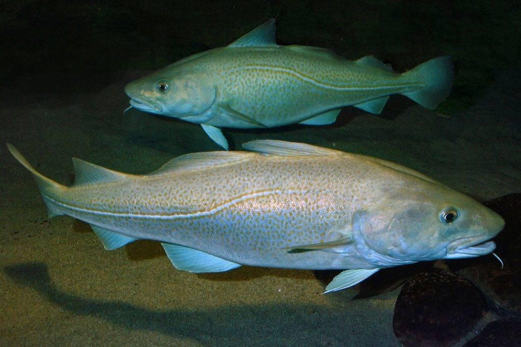 Описание атлантической и беломорской трески: среда их обитания, питание и размножение