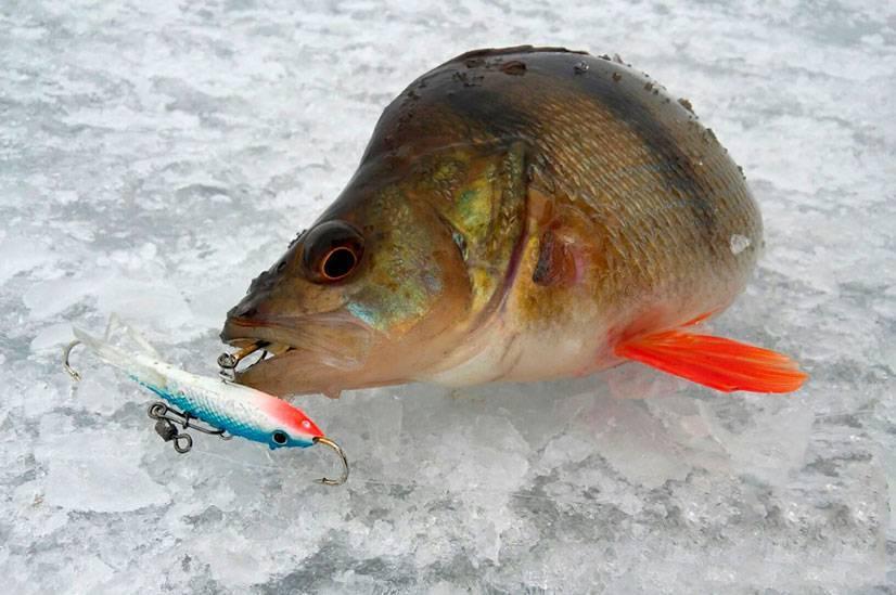 Зимняя ловля окуня на блесну: выбор уловистой приманки и тактика рыбалки