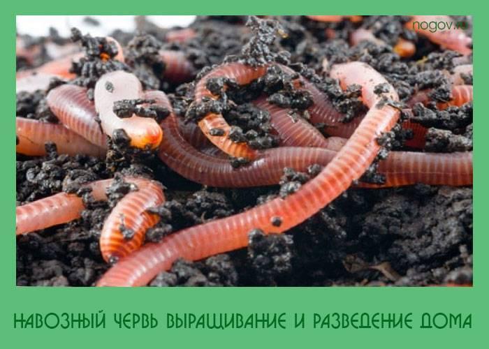 Как разводить червей