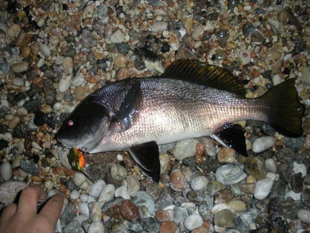 Горбыль-рыба: описание, особенности ловли и среда обитания