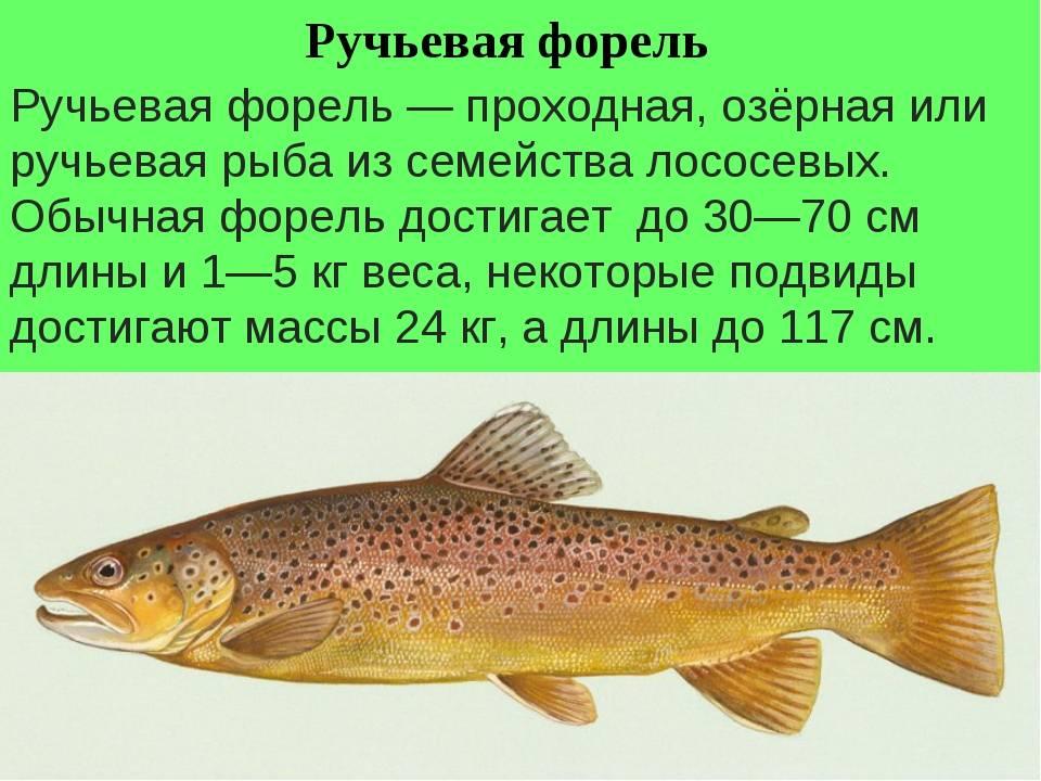 Форель хищная или нет — ловись рыбка