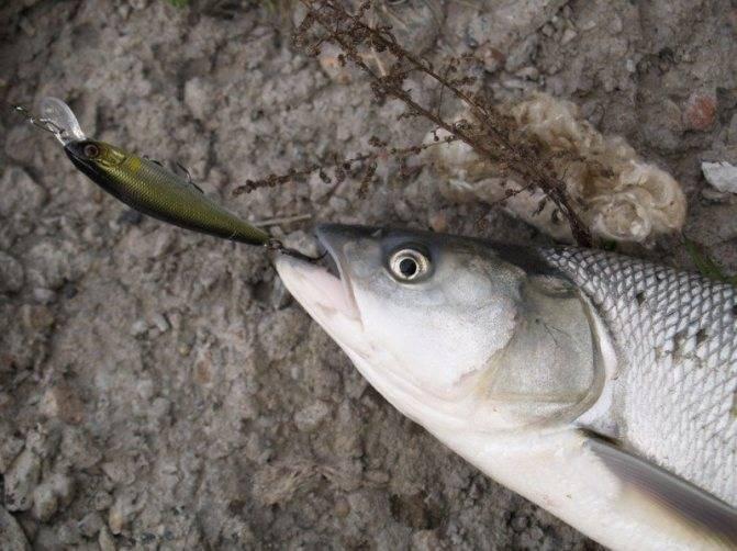 Ловля жереха: на что клюет рыба, как поймать, лучшие снасти и приманки
