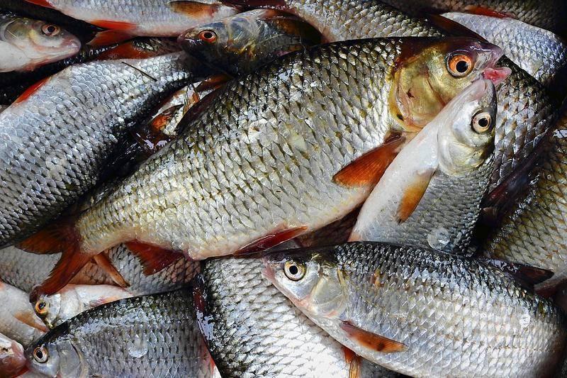 Плотва, фото и описание рыбы, на что ловить