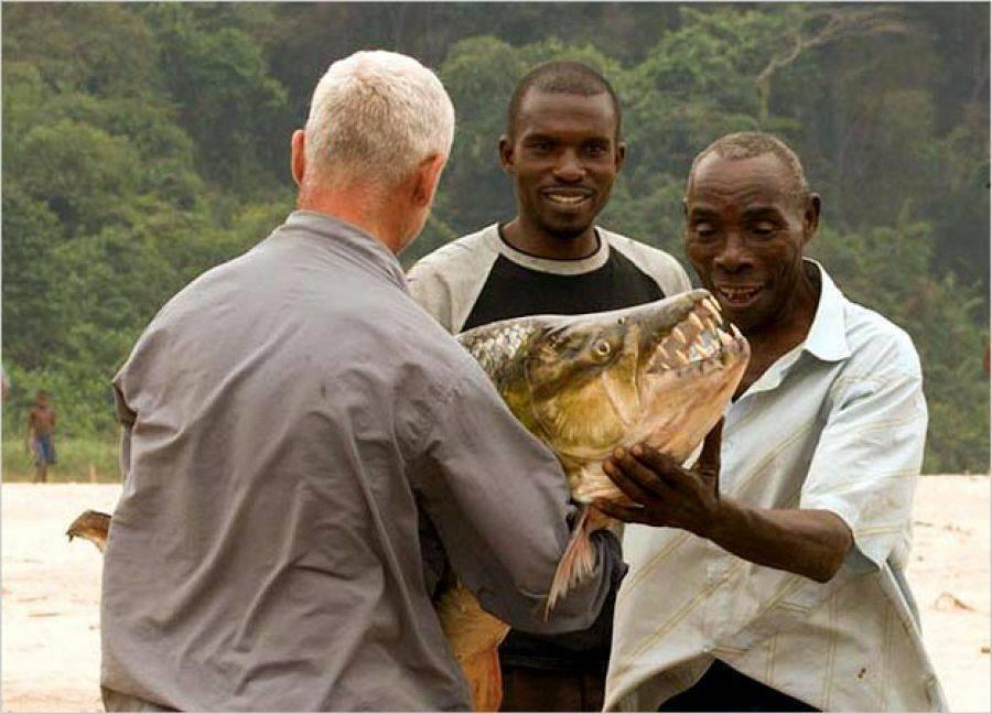 Большая тигровая рыба голиаф: свирепый хищник реки конго | живой мир - природа