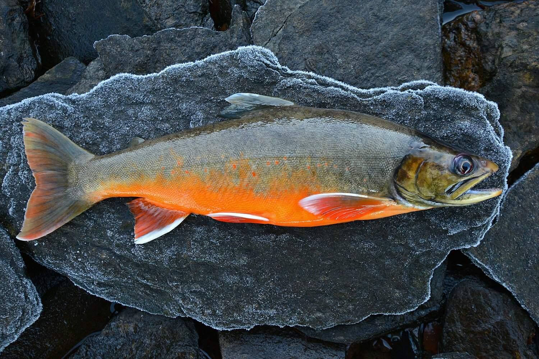 Рыба «Голец арктический» фото и описание
