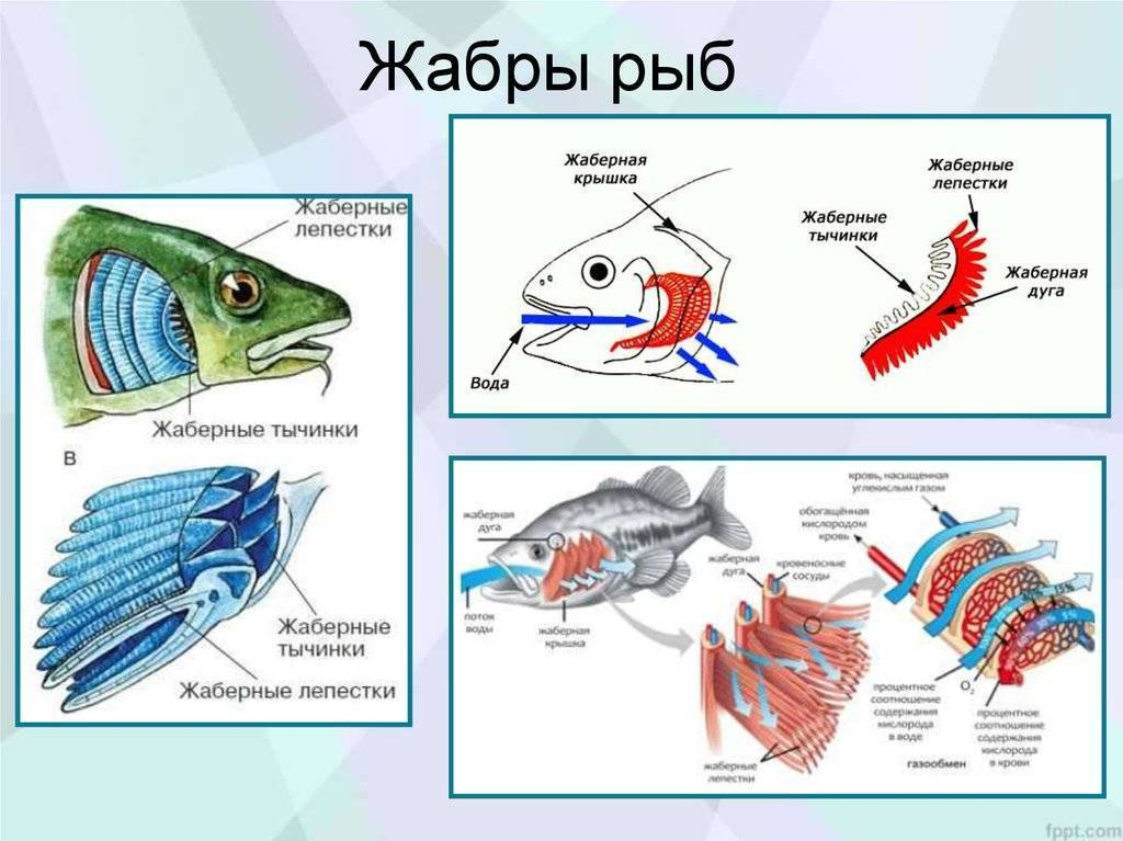 Органы дыхания рыб. как дышат рыбы под водой? как дышит рыба