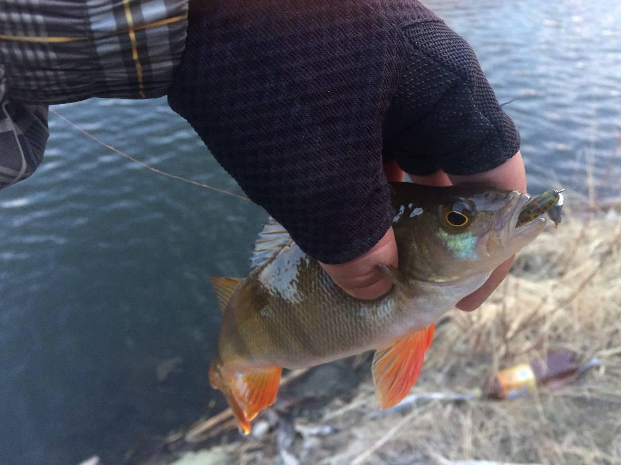 Крупный окунь. ищем и ловим горбачей – рыбалке.нет