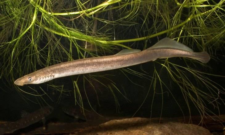 Рыба «Минога украинская» фото и описание