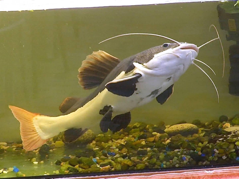 Краснохвостый сом или фрактоцефалус: содержание и уход | аквариумные рыбки