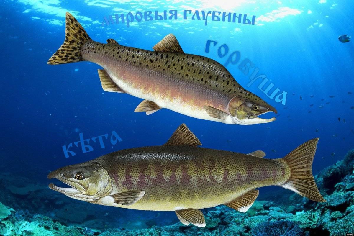 Описание рыбы горбуша: вес, размеры, нерест, чем питается, самка и самец