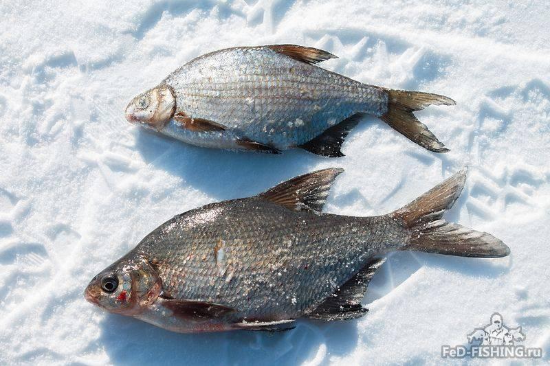 Чем отличается густера от подлещика — ловись рыбка