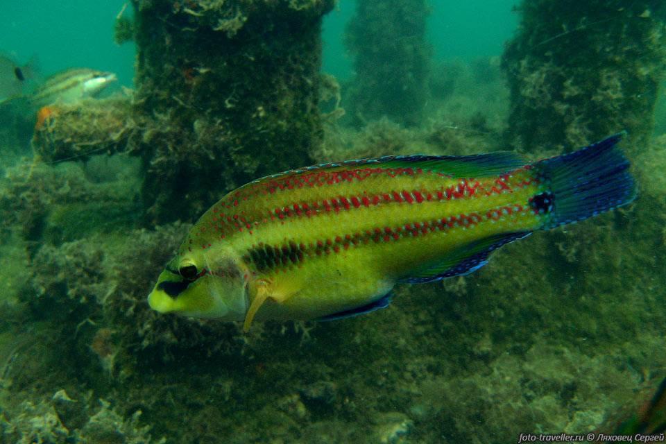 Лапина, рулена, губан, зеленуха... рыба семейства окуневых: описание, фото, промышленная ценность