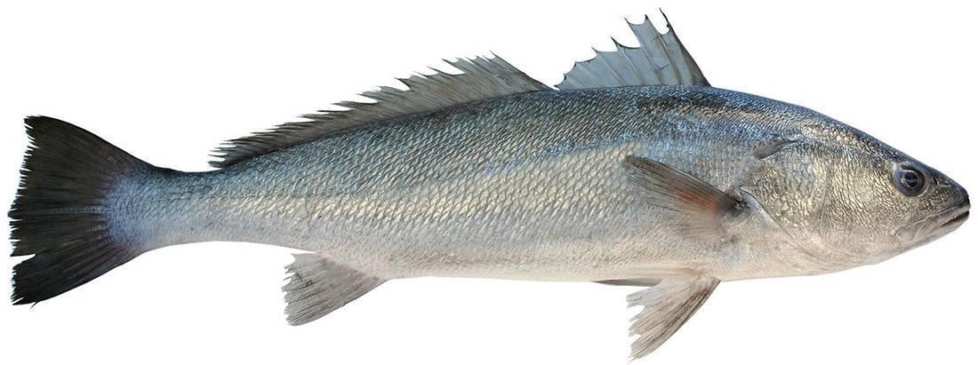 Ловля горбыля: приманки, места обитания и способы ловли рыбы