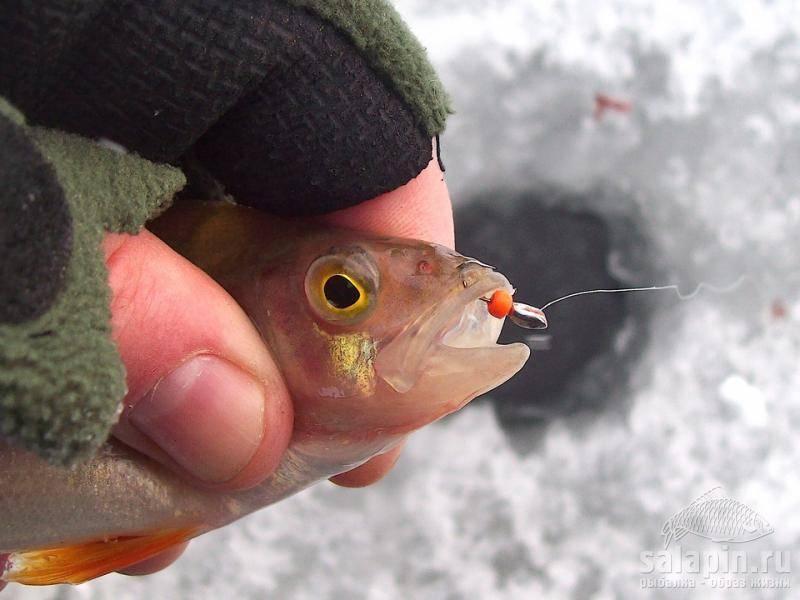 Где и как ловить окуня на безмотылку зимой