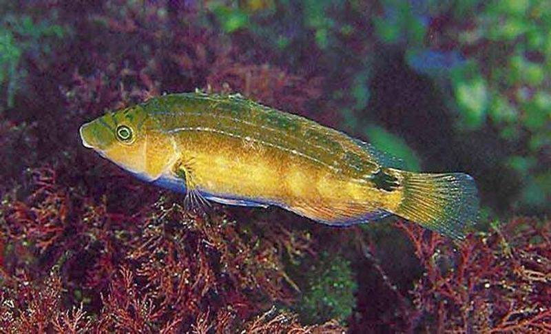 Самая крупная рыба-губан названа именем наполеона