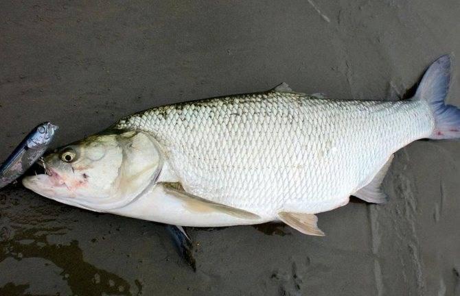 Рыба «Жерех» фото и описание