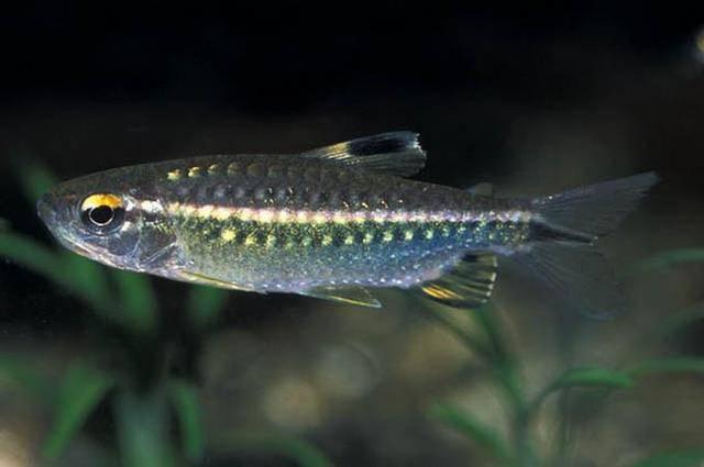 Рыба красноглазка: польза и вред, где водится, химический состав, калорийность, как готовить