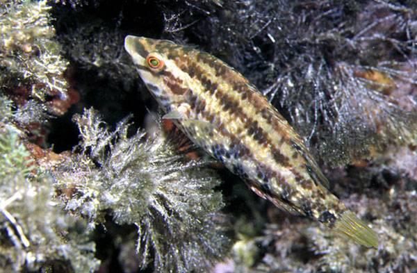 Рыба пинагор: большая присоска на брюхе и толстая кожа