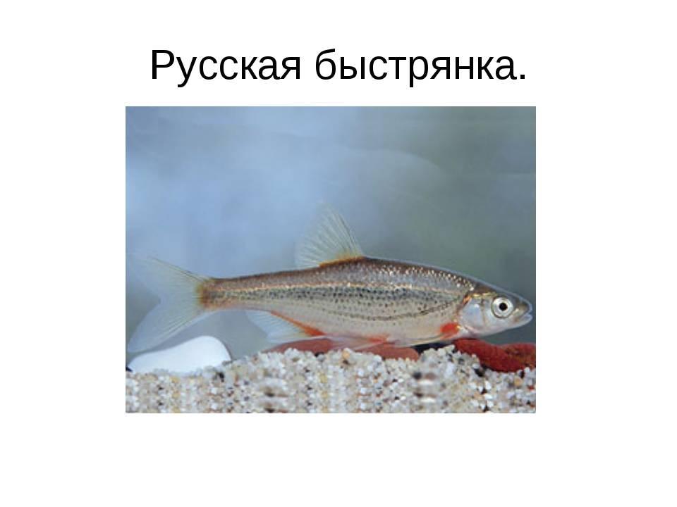 Быстрянка русская — ртищевская энциклопедия