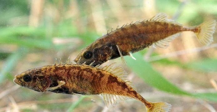 Колюшка в аквариуме • блог аквариумиста