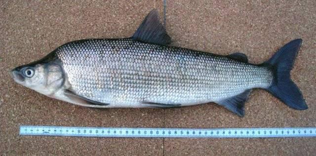 Сиговые породы рыб: список с названиями и фото