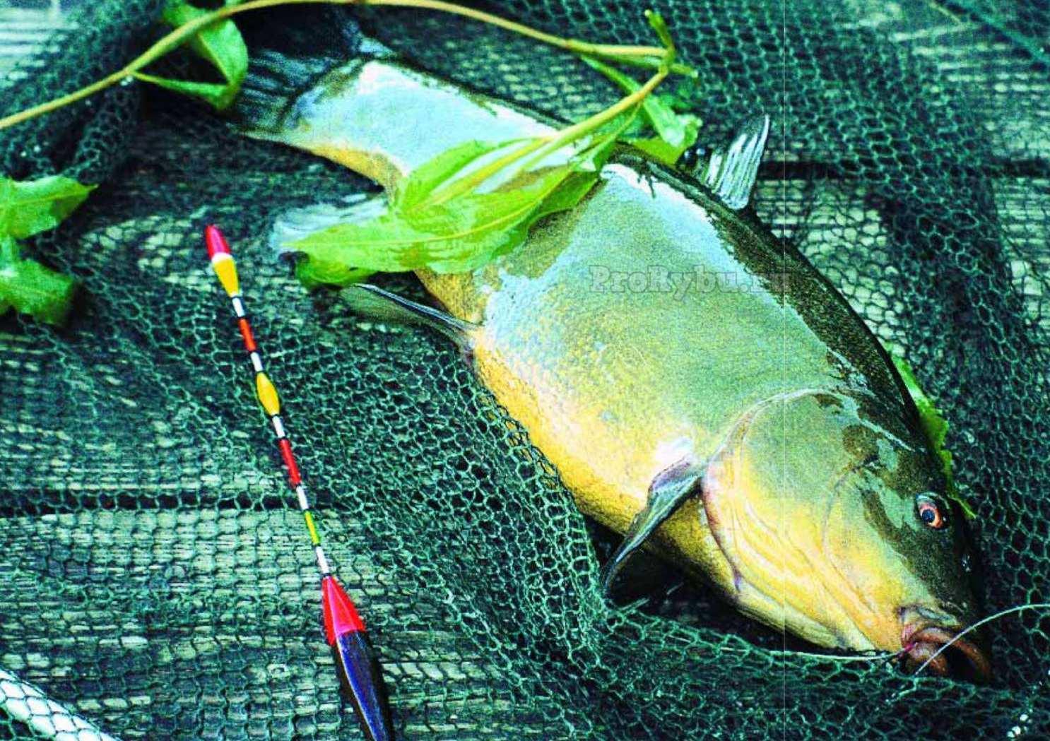 Особенности ловли линя летом - на рыбалке!