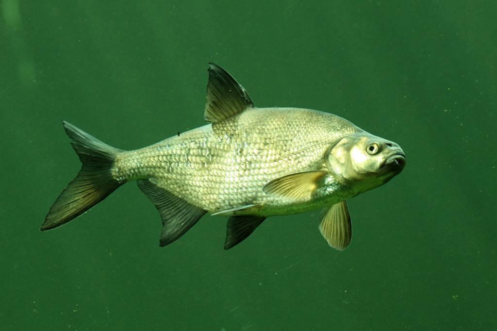 Лещ рыба: как выглядит и где водится, когда жор и нерест леща