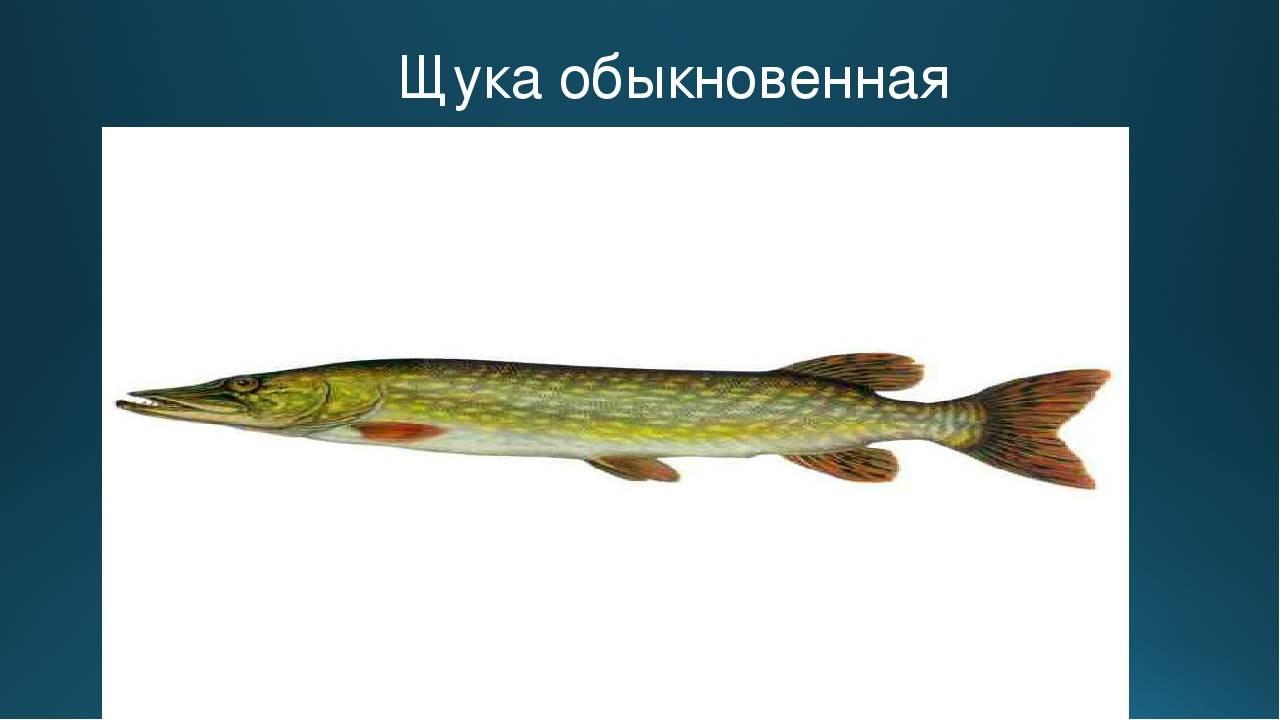 Щука рыба. образ жизни и среда обитания щуки   животный мир