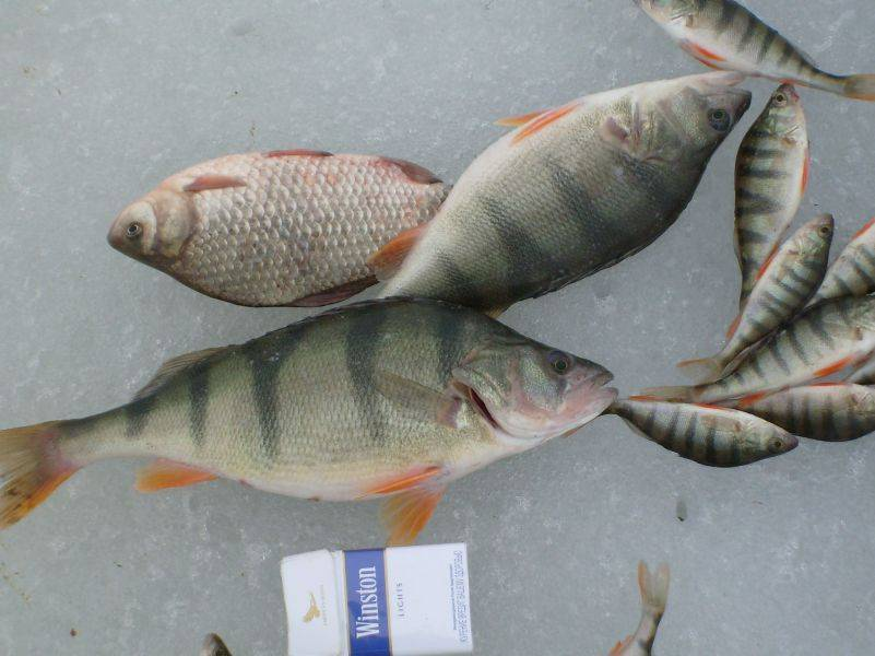 Нильский окунь: фото и рыбалка