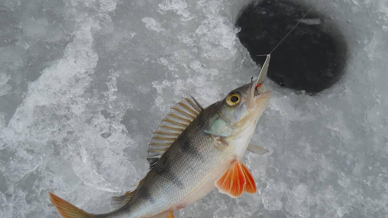 Как ловить окуня зимой — самые уловистые снасти и приманки для ловли окуня зимой
