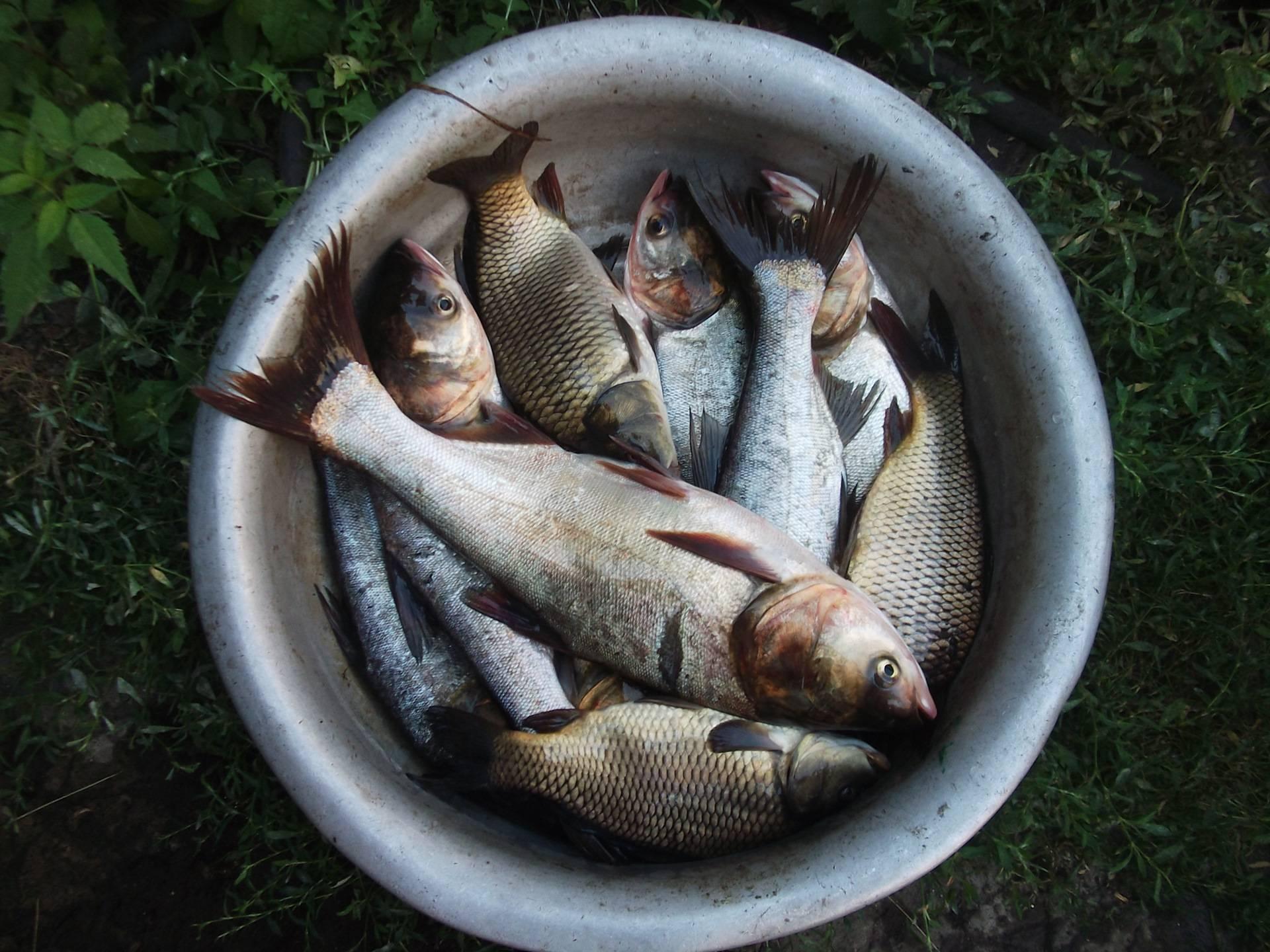 Толстолобик, виды, нерест и места обитания, как ловить толстолобика