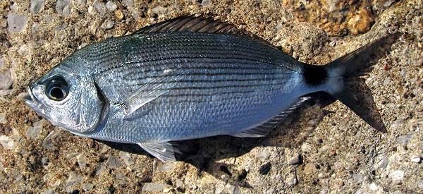 Саргана называют рыбой стрелой