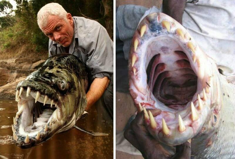 Большая тигровая рыба голиаф: свирепый хищник реки конго