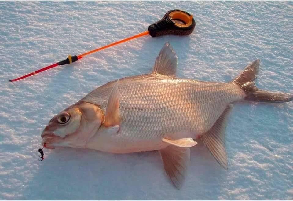 Секреты ловли леща для начинающих рыболовов — прикормки, насадки, снасти, выбор места
