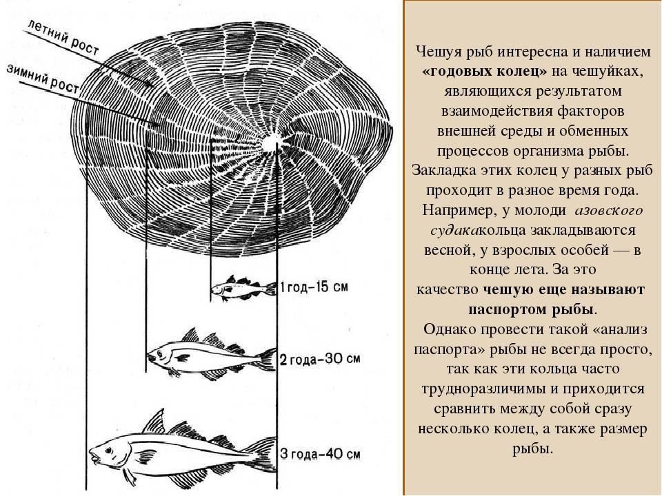 Методы, если приспичило узнать возраст рыбы