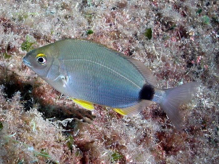 Рыба «Морской карась дальневосточный» фото и описание