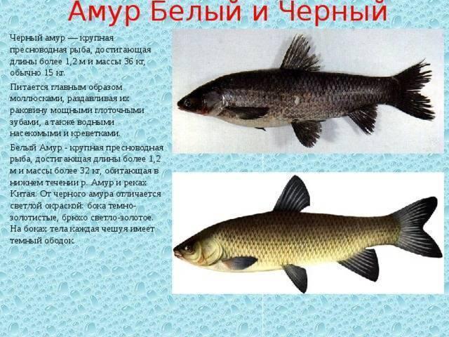 Амур — рыба мелиоратор